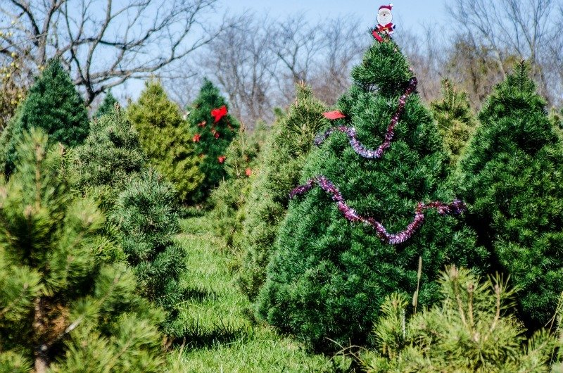 fresh off the farm nothing beats the smell of fresh pine at christmas time - What Christmas Tree Smells The Best