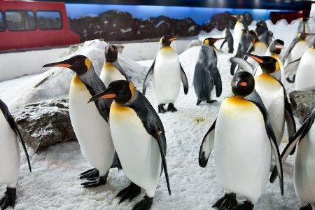 King penguins at Kelly Tarlton's